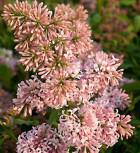 Edelflieder Miss Canada - Kircher-Collection 100-125cm - Syringa hyacinthiflora