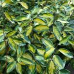 Wintergrüne Ölweide Limelight 100-125cm - Elaeagnus ebbingei