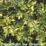 Buntlaubige Ölweide Maculata 80-100cm - Elaeagnus pungens - Vorschau