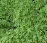 Stachelkraftwurz 80-100cm - Eleutherococcus sieboldianus - Vorschau