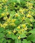 Elfenblume Amber Queen - Epimedium Hybrid - Vorschau