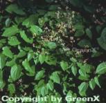 Alpen Elfenblume - Epimedium alpinum - Vorschau