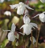 Elfenblume Elfenkönigin - Epimedium grandiflorum