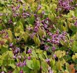 Elfenblume Rubinkrone - Epimedium grandiflorum - Vorschau