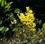 Elfenblume Nachfolger - Epimedium perralchicum - Vorschau