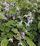 Zierliche Elfenblume Roseum - Epimedium youngianum