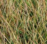 Purpur Liebesgras - großer Topf - Eragrostis spectabilis - Vorschau