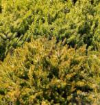 10x Winterheide Nadja - Erica carnea - Vorschau