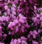 10x Winterheide Winter Rubin - Erica carnea