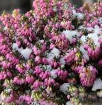 10x Winterheide Winterfreude - Erica carnea