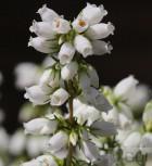 10x Grauheide Alba Major - Erica cinerea