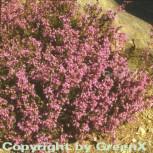 10x Grauheide Pallas - Erica cinerea