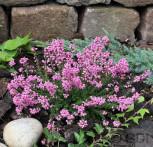 10x Grauheide Rosita - Erica cinerea