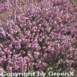 10x Englische Heide Darley Dale - Erica darleyensis - Vorschau