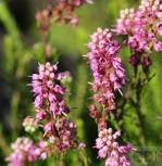 10x Siebenbürgerheide Mila - Erica spiculifolia