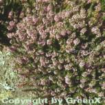 10x Cornwallheide St. Keverne - Erica vagans