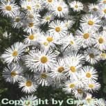 Feinstrahlaster Sommerneuschnee - Erigeron Hybrid - Vorschau