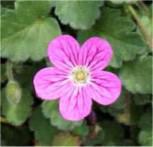 Reiherschnabel Bishop - Erodium reichardii