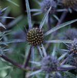 Mannstreu - Eryngium amethystinum - Vorschau
