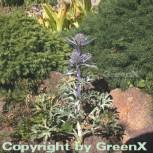 Mannstreu - Eryngium bourgatii