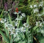 Elfenbeindistel Silver Ghost - Eryngium giganteum - Vorschau