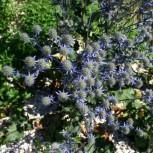 Blaue Edeldistel Blaukappe - Eryngium planum - Vorschau