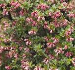 Andenstrauch Darts Rosyred 60-80cm - Escallonia - Vorschau