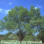 Guttaperchabaum Gummiulme 125-150cm - Eucommia ulmoides - Vorschau