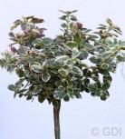 Hochstamm Weißbunte Kriechspindel 40-60cm - Euonymus fortunei - Vorschau