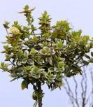 Hochstamm Goldbunte Kriechspindel 40-60cm - Euonymus fortunei