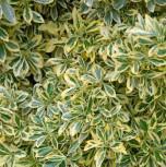 Gelbbunter Japanischer Spindelstrauch 40-60cm - Euonymus japonicus Aureomarginatus