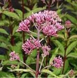 Wasserdost rosarot - Eupatorium fistulosum