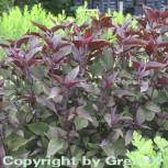 Wasserdost Chocolate - Eupatorium rugosum