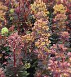 Mandelblättrige Wolfsmilch Blackbird - Euphorbia amygdaloides