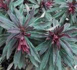 Mandelblättrige Wolfsmilch Robbiae - Euphorbia amygdaloides