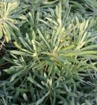 Zypressen Wolfsmilch Wulfen - Euphorbia characias