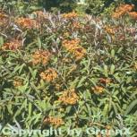 Himalaja Wolfsmilch Fireglow - Euphorbia griffithii - Vorschau