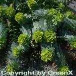 Walzen Wolfsmilch - großer Topf - Euphorbia myrsinites - Vorschau