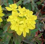 Gold Wolfsmilch Purpurea - Euphorbia polychroma
