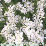 Kleine Prunkspiere The Bride 40-60cm - Exochorda macrantha - Vorschau