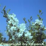 Radspiere 125-150cm - Exochorda racemosa