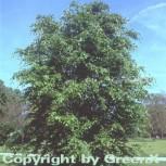 Amerikanische Buche 40-60cm - Fagus grandifolia