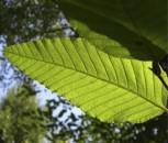Chinesische Buche 60-80cm - Fagus longipetiolata