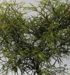 Nadelblatt Buche 40-50cm - Fagus sylvatica