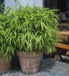 Schirmbambus Pingwu 100-125cm - Fargesia murielae Pingwu