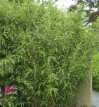 Gartenbambus Superjumbo 125-150cm - Fargesia murielae - Vorschau