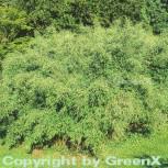 Schirmbambus 40-60cm - Fargesia murielae