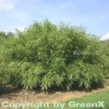 Gartenbambus Rufa 60-80cm - Fargesia murielae