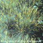 Walliser Schafschwingel Silbersee - Festuca valesiaca