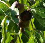 Feigenbaum Brown Turkey 40-60cm - Ficus carica
